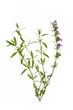 Ysop (Hyssopus officinalis)
