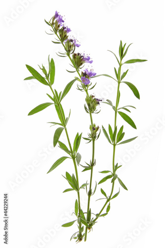 Ysop (Hyssopus officinalis)