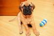 little puppy bullmastiff