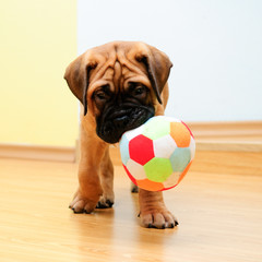 little puppy bullmastiff