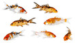 Koi Carp Isolated On White Bac...