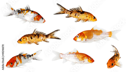 Koi Carp isolated on white background with clipping path