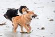 Elo-Welpe und Collie rennen am Strand