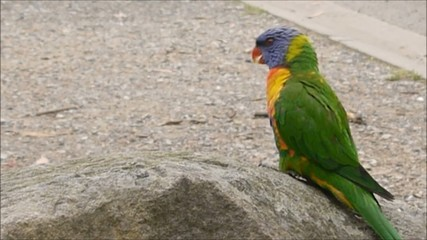 Australiens Regenbogenlori