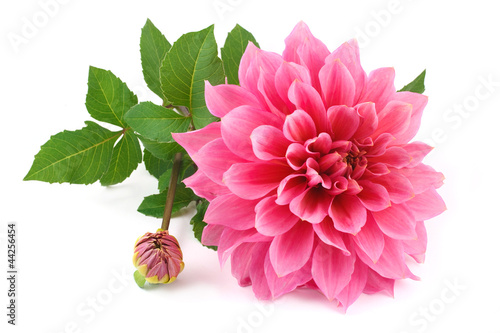 Foto op Canvas Dahlia pink dahlia isolated on white background