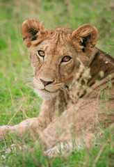 junger Loewe, Serengeti