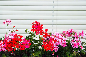 Geranium background