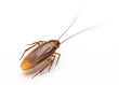 close up of cockroach isolated on a white background