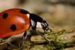 Ladybug walking  closeup