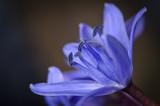 One violet flower blossom