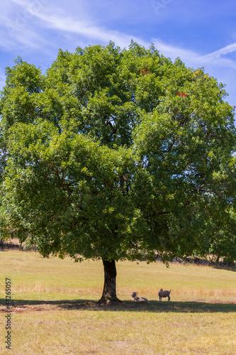 Chèvre angora sous un arbre à Loubressac