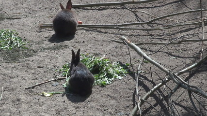 A rabbit family eating
