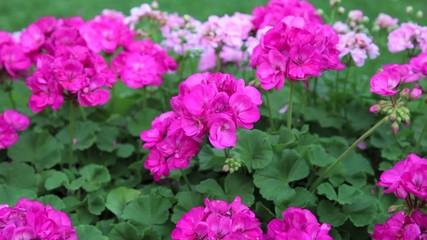 Rosa Blumen im Blumenbeet