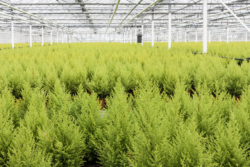 Dutch horticulture with cypresses in a greenhouse