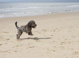 Cockapoo dog running on the beach