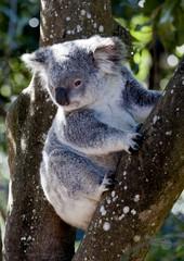 Koala sitting in tree