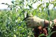 Tomatenpflanze abstutzen