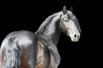 Friesian horse isolated on black background