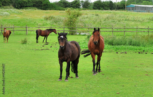Bay Horses Grazing in Rural England