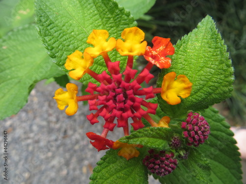 Multi-coloured lantana flower