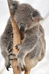 Sweet dreaming koala bear