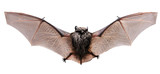 Little brown Bat. Back