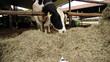 Kuh im Stall mit Katze