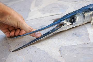 Hornhecht Garfish