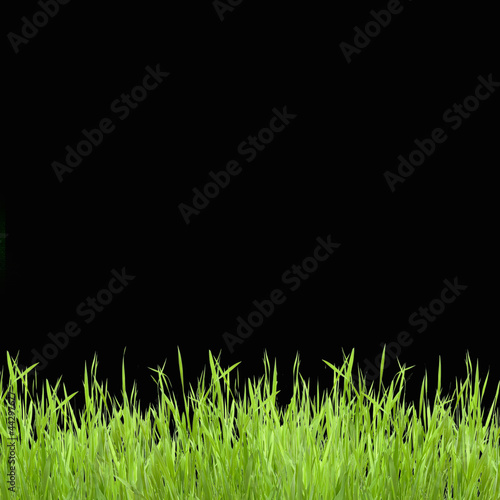 Foto op Plexiglas Landschappen Close up of the green grass on black background