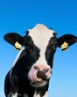 Curious Holstein cow