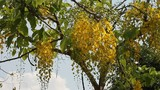 Flowers of Golden Shower Tree bloom in summer