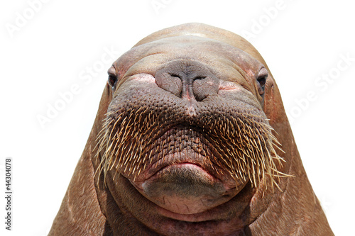 Leinwandbild Motiv walrus head isolated over white