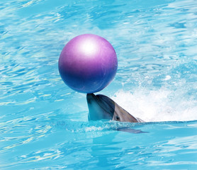bottlenose dolphin playing with ball in water