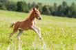 mini horse Falabella