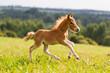 canvas print picture - foal mini horse Falabella