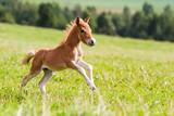 Fototapety mini horse Falabella