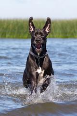 Black mastiff run in sea water.