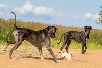 Two big dogs play with little dog.