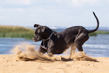 Black mastiff dog playing on the beach.