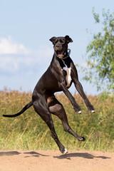 Black mastiff dog fun.