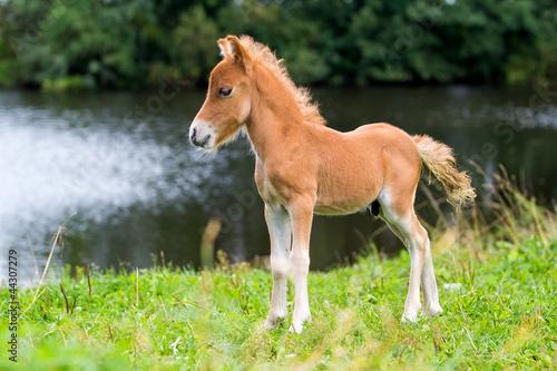 Fridge magnet foal mini horse Falabella