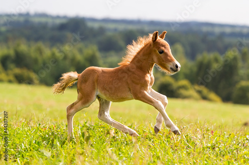 Poster Paarden foal mini horse Falabella
