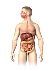 Man anatomy  digestive system cutaway.