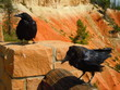 Raven birds in the Bryce Canyon National Park