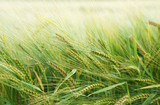 Getreide - 44317620