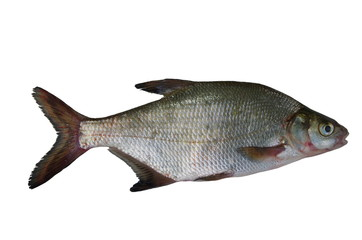 big bream
