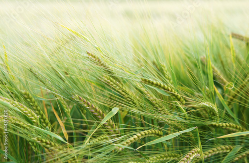 Leinwandbild Motiv Getreide