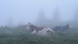 Cows resting in fog