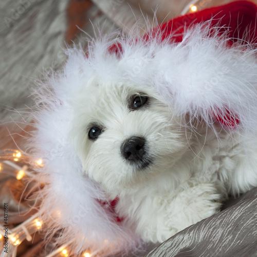 Bichon Père Noël