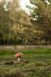 Fliegenpilz, Amanita muscaria, giftig, Waldrand, Landschaft